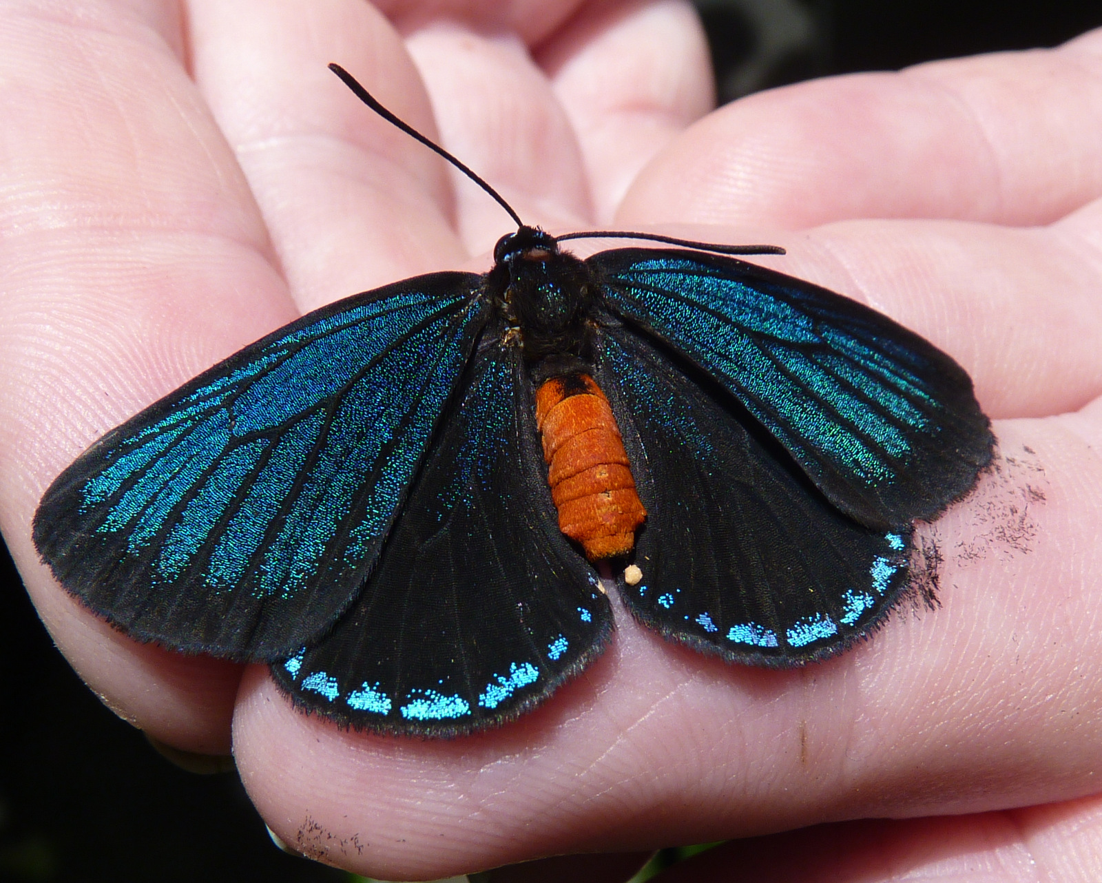 Atala Butterfly Identification Facts Amp Pictures
