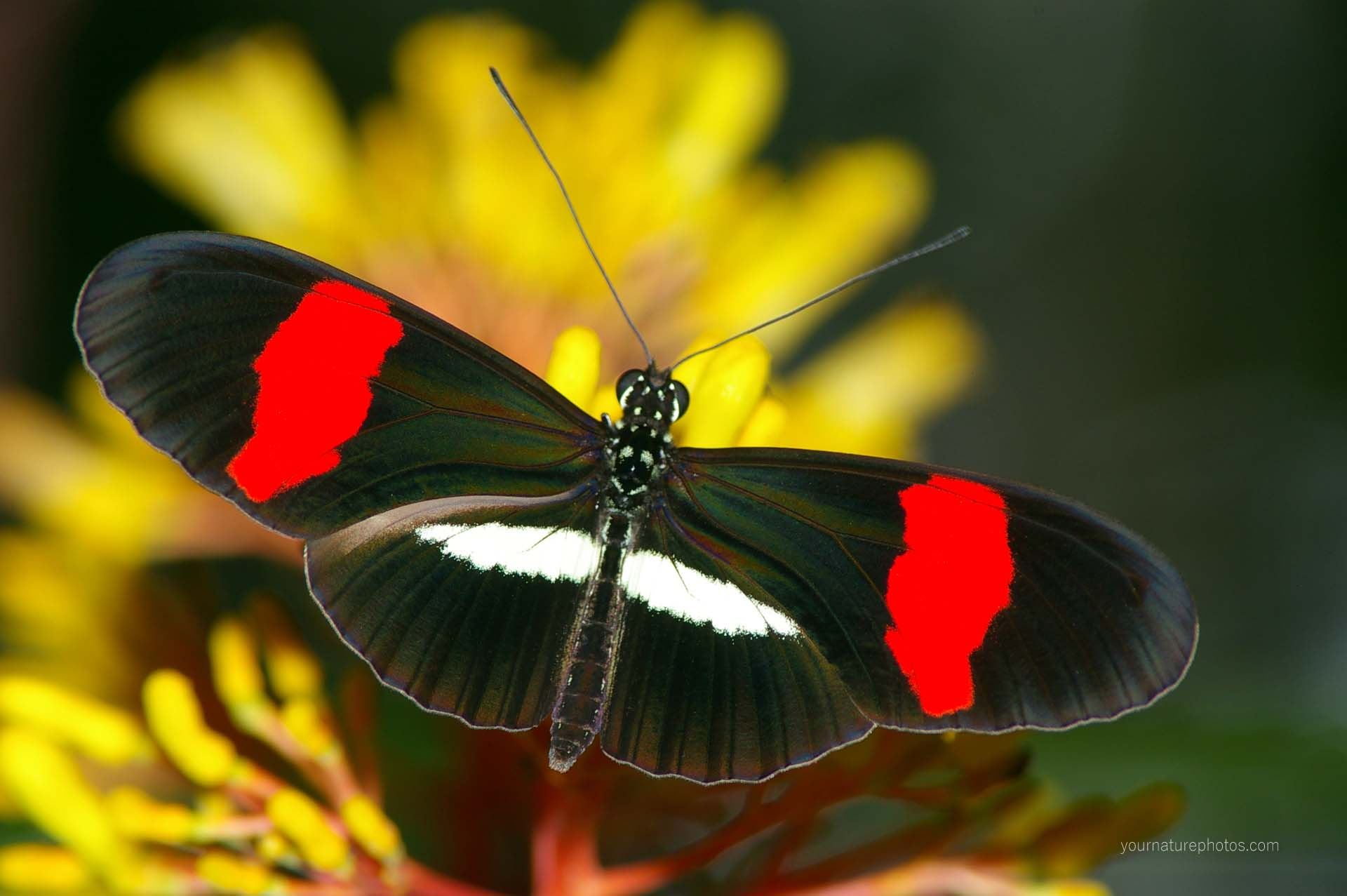 Postman Butterfly Identification Facts & Amp Pictures
