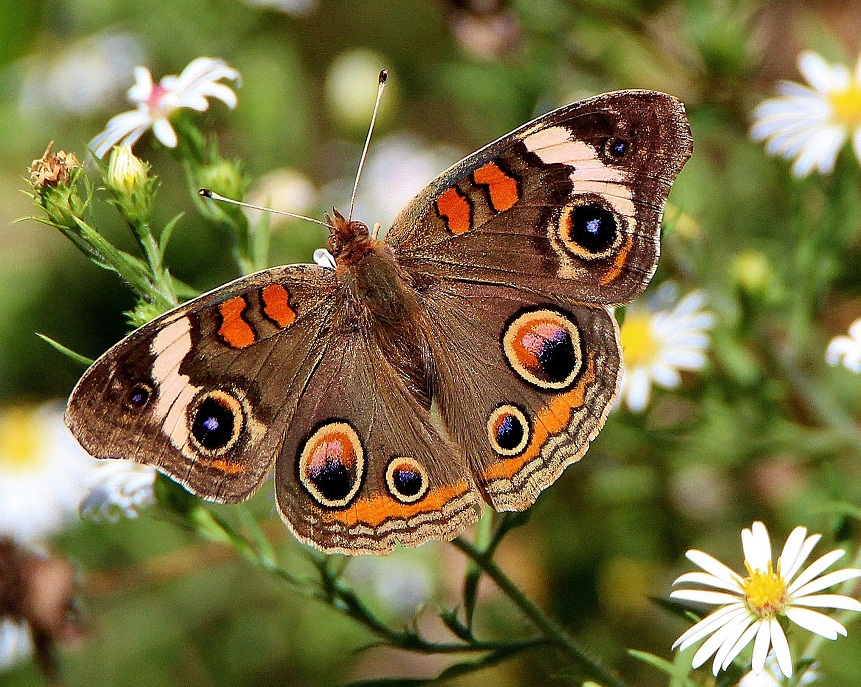 Common Buckeye Butterfly Identification Facts Amp Pictures