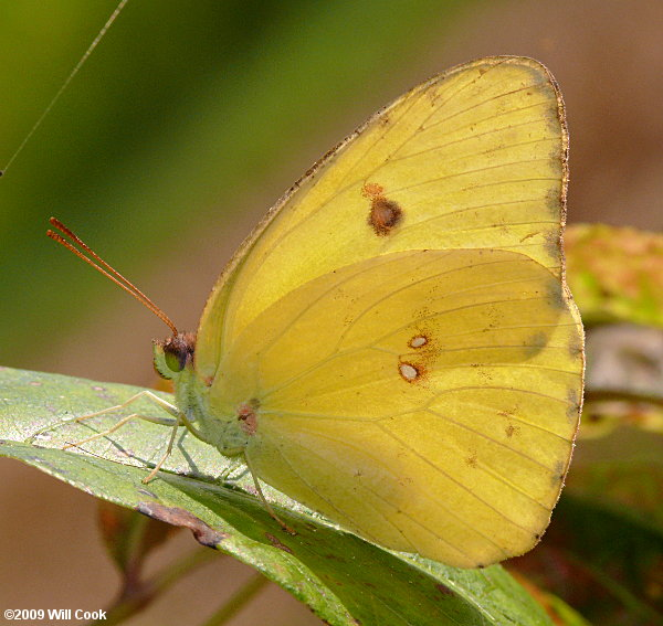 The World Around You: Cloudless sulphur butterfly ... |Clouded Sulphur Butterfly