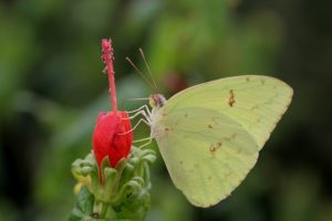 Clouded Sulphur Butterfly: Identification, Facts, & Pictures |Clouded Sulphur Butterfly