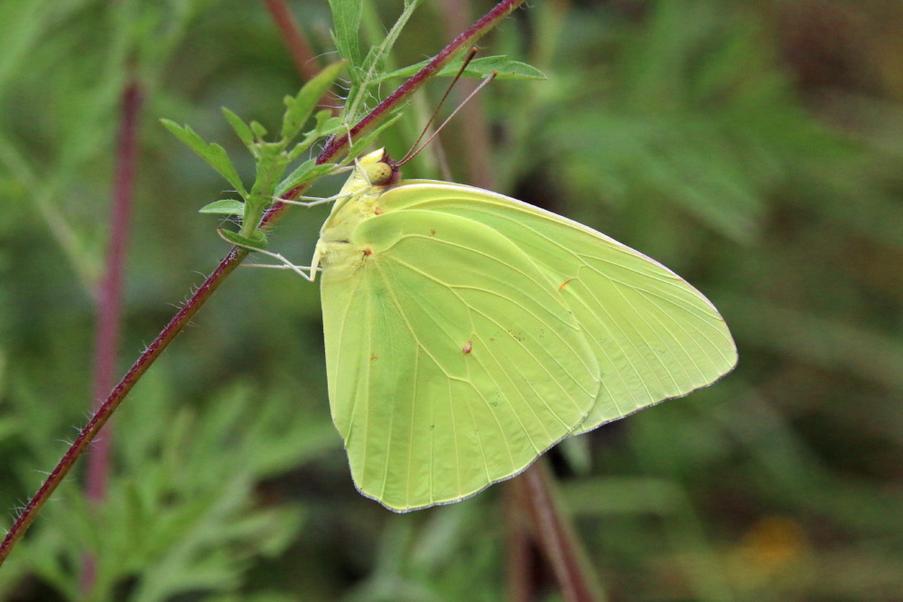 magickcanoe.com Blog » Blog Archive » butterfly's last hurrah? |Clouded Sulphur Butterfly