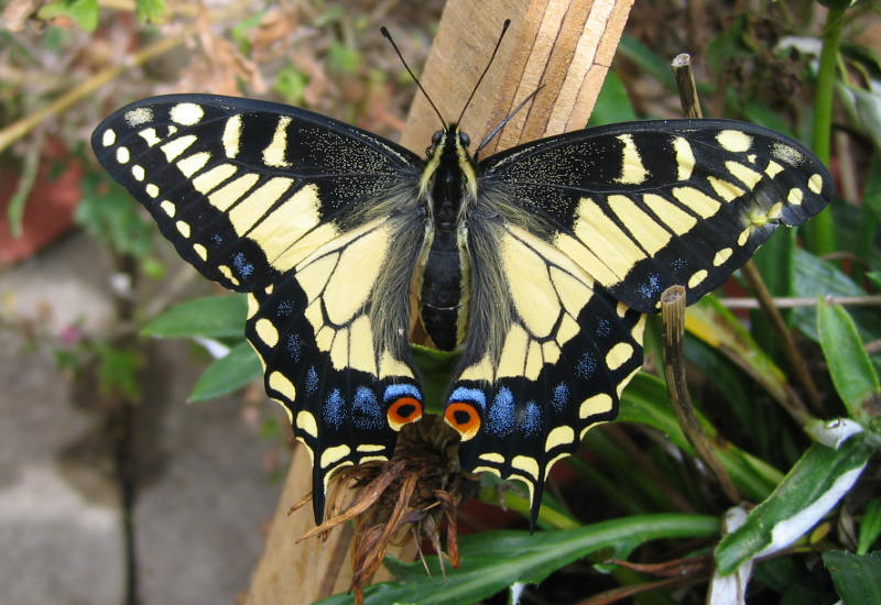 anise swallowtail butterfly  identification  facts   u0026 pictures