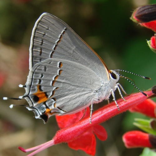 Gray Caterpillars That Are Big: Gray Hairstreak Butterfly: Identification, Facts, & Pictures