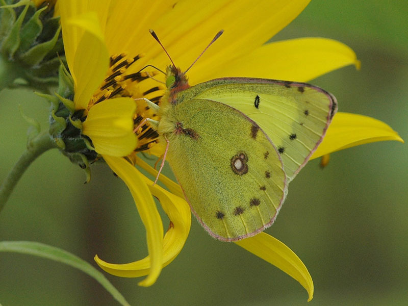 Clouded Sulphur Butterfly | Flickr - Photo Sharing! |Clouded Sulphur Butterfly
