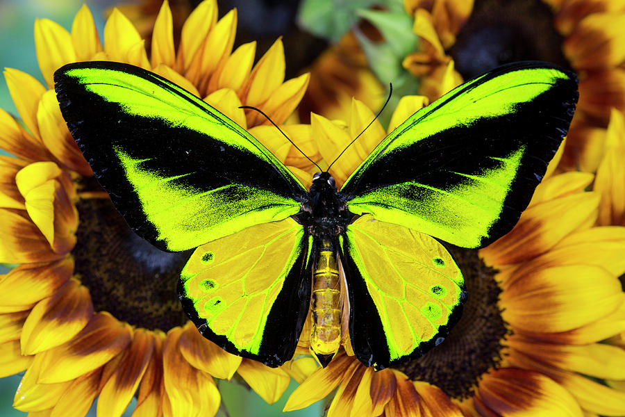 Goliath Birdwing Butterfly: Identification, Facts, & Pictures