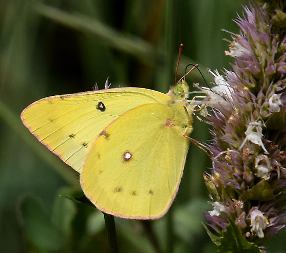 Sulphurs and White Butterflies, Clouded Sulphur, Cloudless ... |Clouded Sulphur Butterfly
