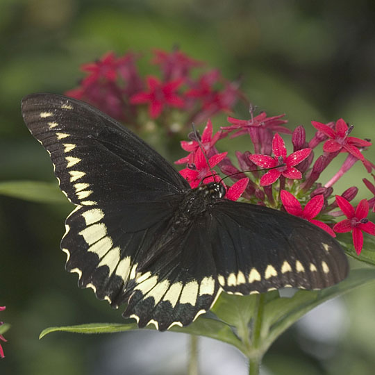 polydamas swallowtail butterfly  identification  facts