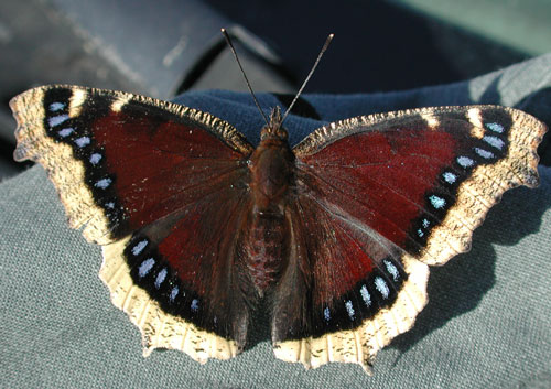 Mourning Cloak Butterfly Identification Facts Amp Pictures