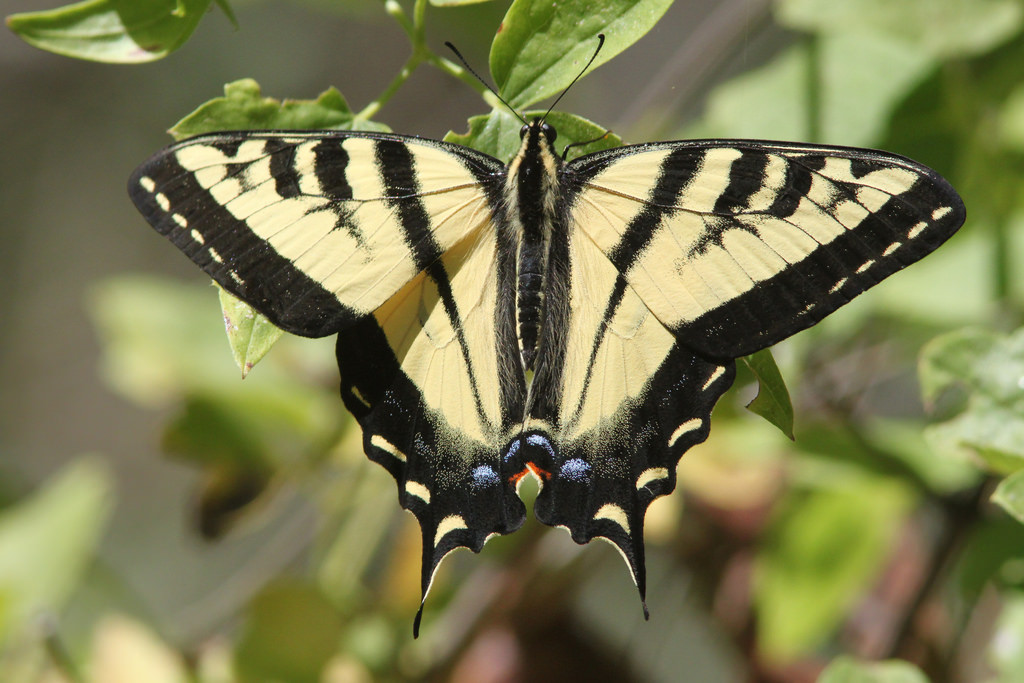 western tiger swallowtail butterfly  identification  facts
