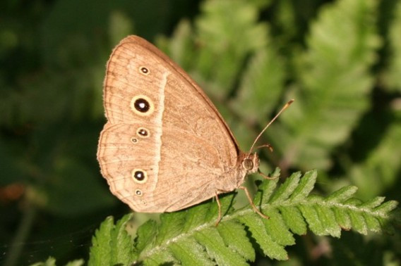 Chinese Bush Brown Butterfly Identification Facts