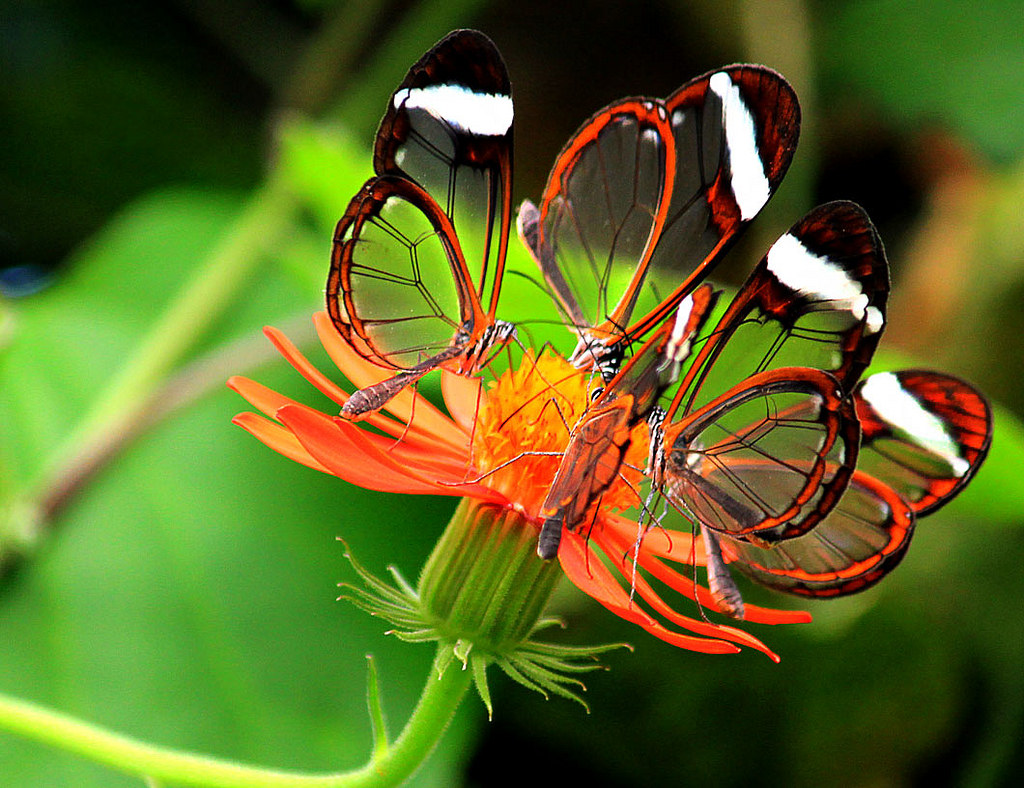 Glasswing Butterfly: Identification, Facts, & Pictures