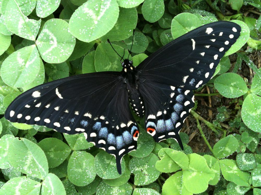 Black Swallowtail Butterfly: Identification, Facts & Pictures