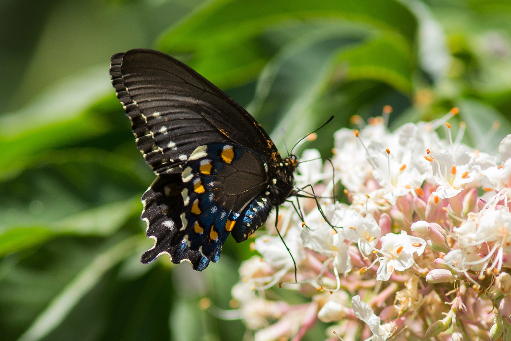The Tallgrass Prairie Preserve Docent News for April 2012 |Pipevine Swallowtail Butterfly