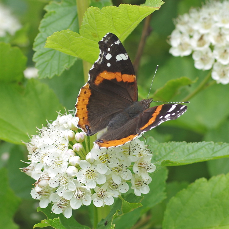 Red Admiral Butterfly: Identification, Facts & Pictures