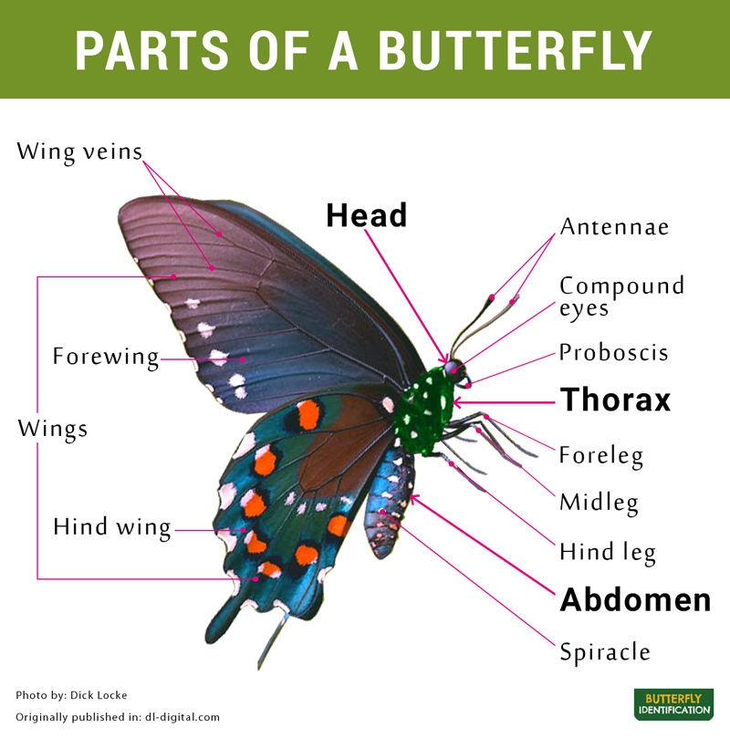 Body Parts Of A Butterfly And Its Diagram