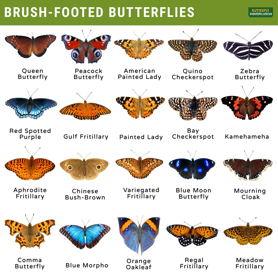 Types of Brush-Footed Butterfly