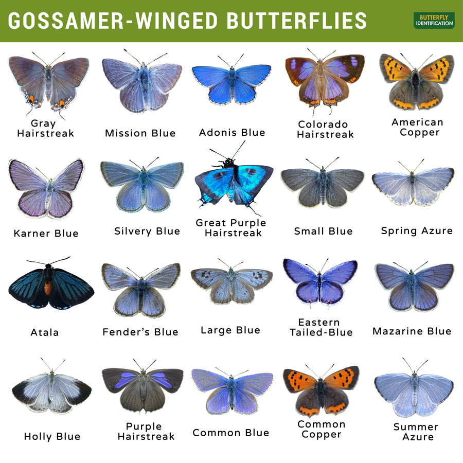 Types of Gossamer-Winged Butterfly