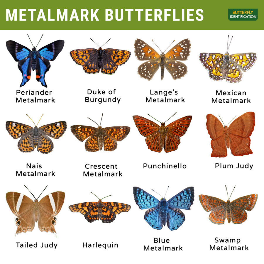 Types of Metalmark Butterfly
