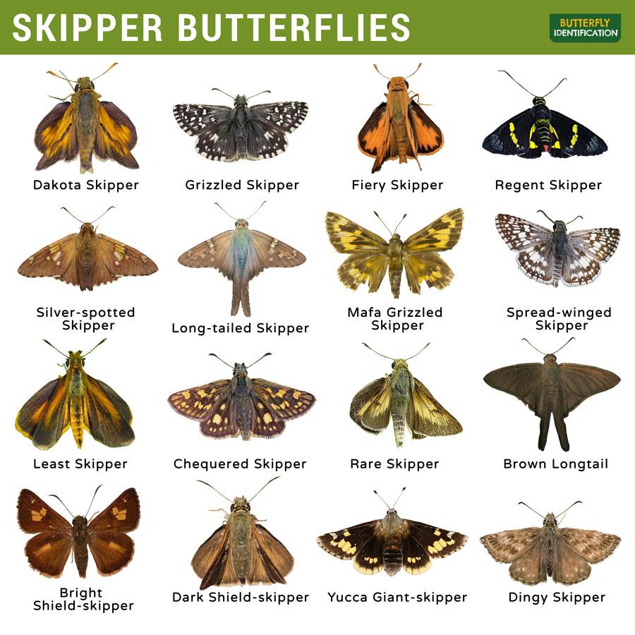 Types of Skipper Butterfly