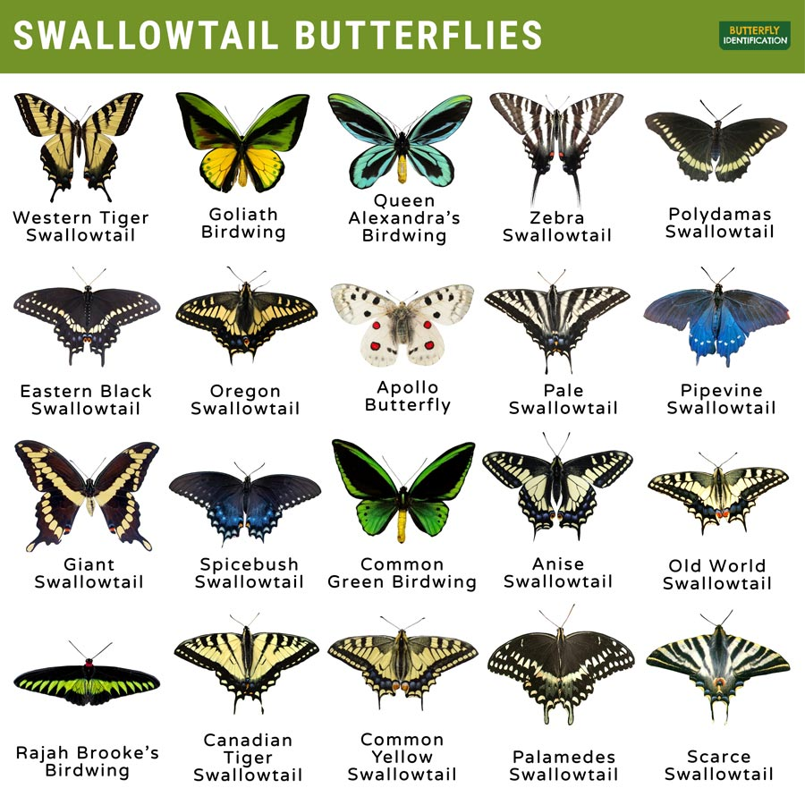 Types of Swallowtail Butterfly