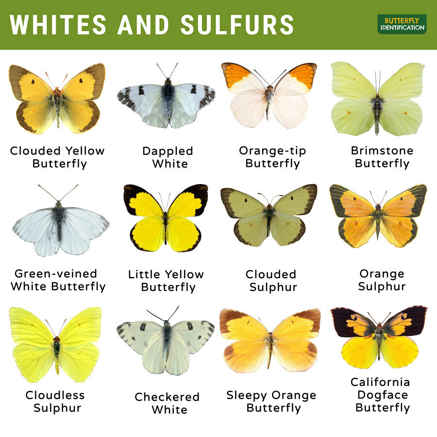 Types of Whites and Sulfurs Butterfly